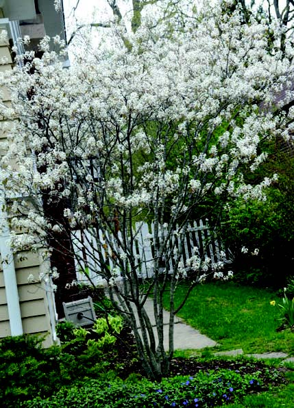 Midwestern Native Shrubs And Trees Gardening Alternatives